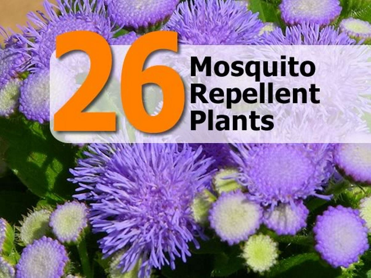 26 mosquito repellent plants - Mosquito repellent plants ...