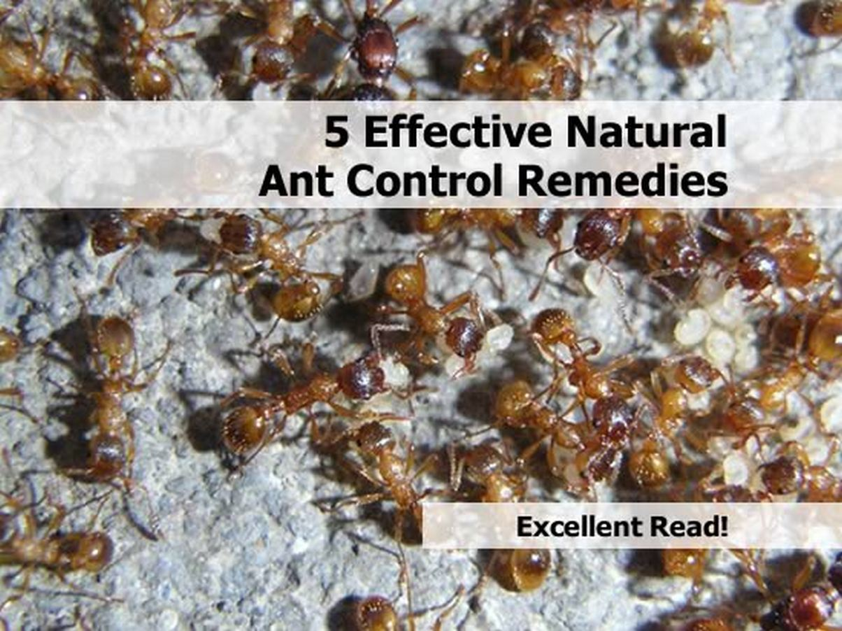 5-natural-ant-control-remedies-2