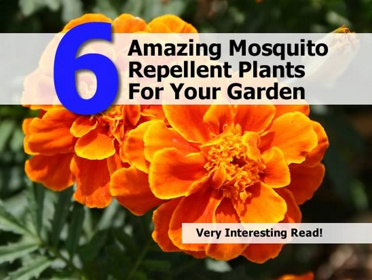 6 amazing mosquito repellent plants for your garden - Natural insect repellent for gardens ...