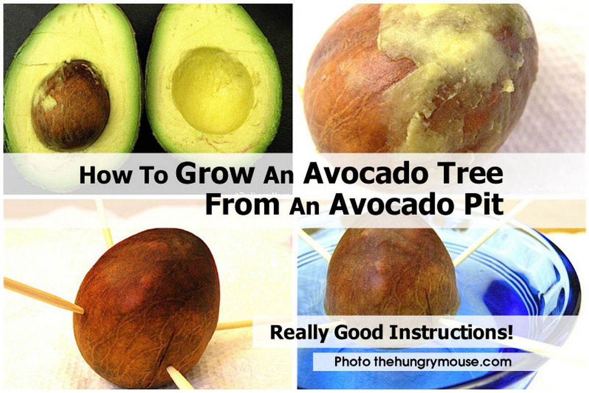 how to grow an avocado tree from an avocado pit ForHow Do You Grow An Avocado Seed