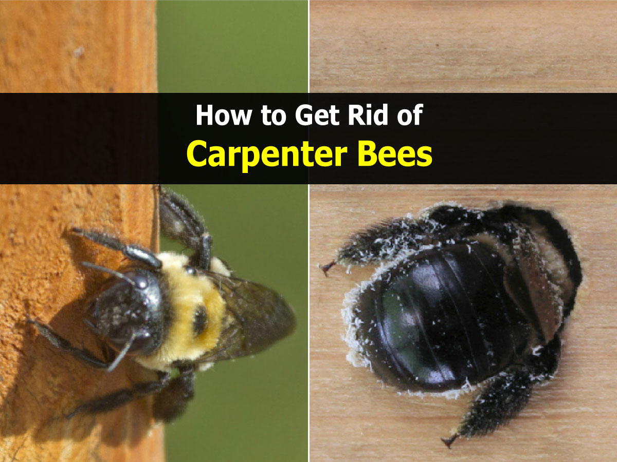 Get Rid Carpenter Bees Naturally