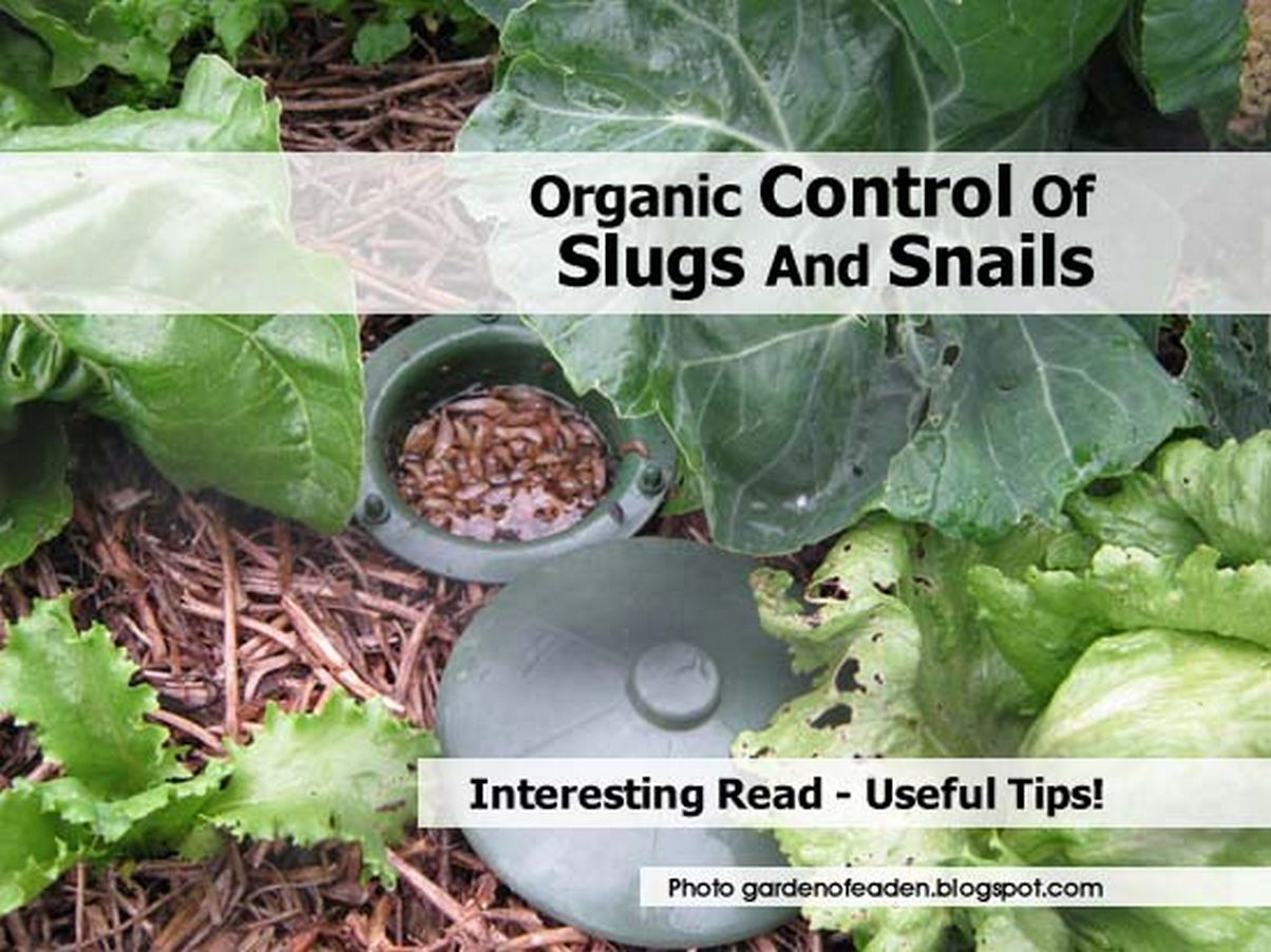 Organic control of slugs and snails - How to get rid of slugs in garden ...
