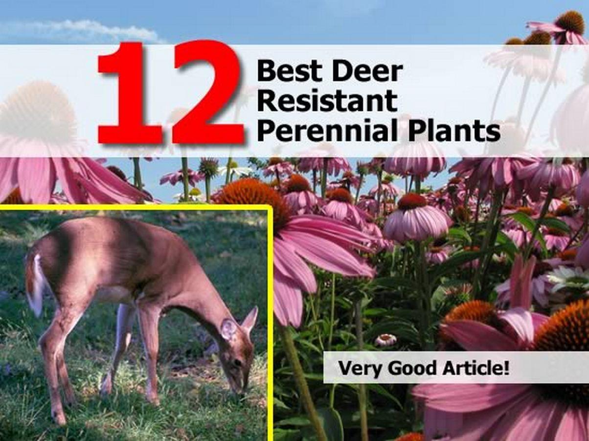 12 Best Deer Resistant Perennial Plants