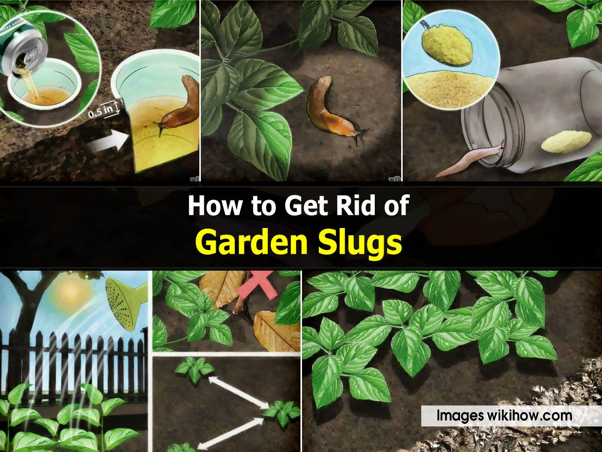 How to get rid of garden slugs - How to get rid of slugs in garden ...