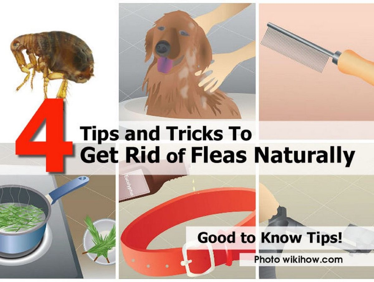 How To Get Rid Of Fleas Outdoors Naturally