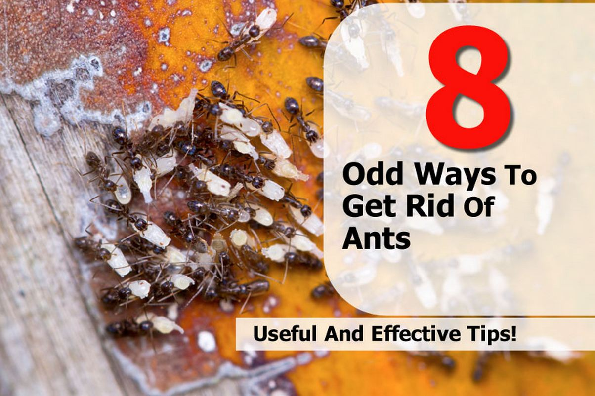 8 odd ways to get rid of ants. Black Bedroom Furniture Sets. Home Design Ideas