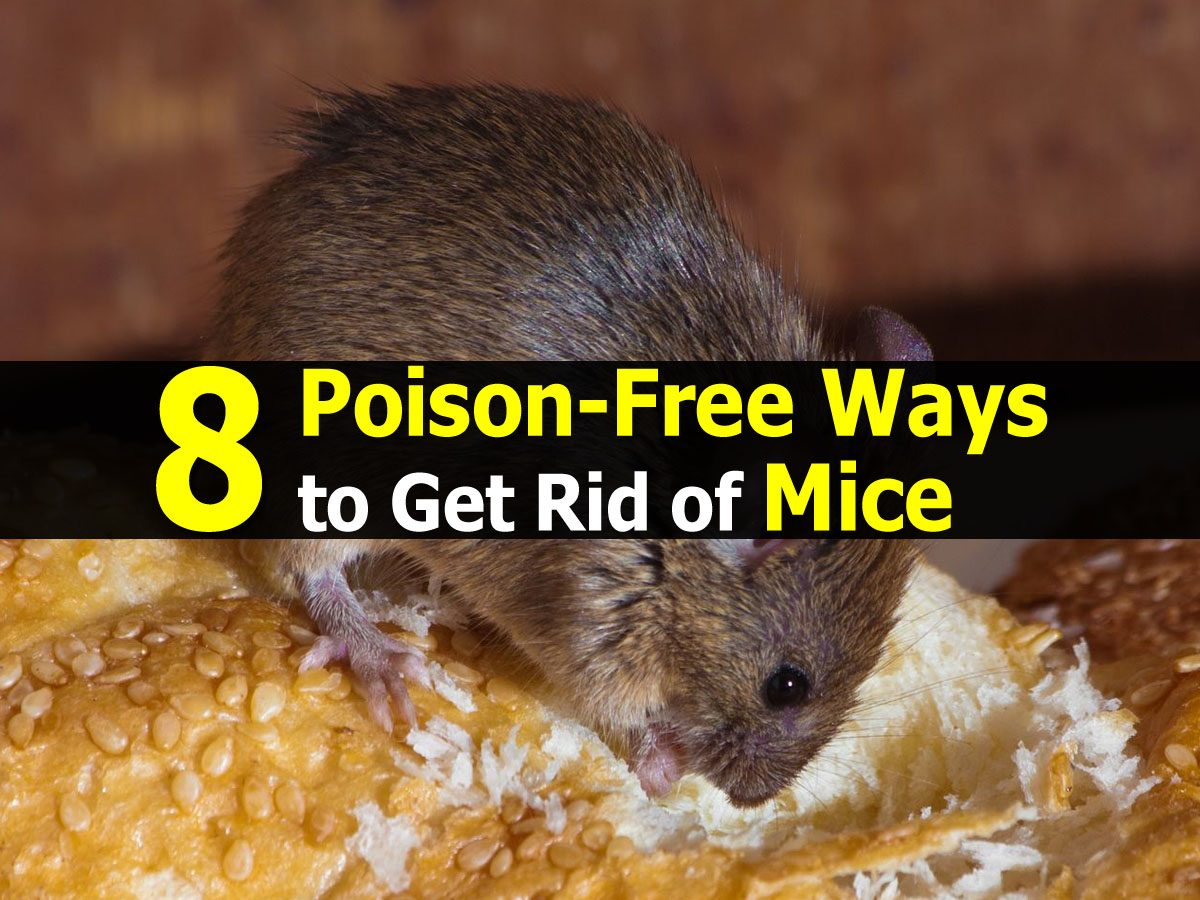 8 poison free ways to get rid of mice. Black Bedroom Furniture Sets. Home Design Ideas