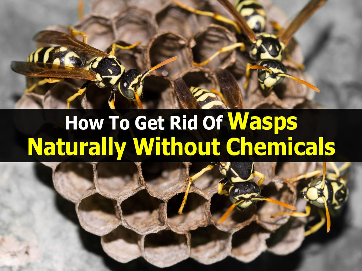 How Do You Get Rid Of Wasps Naturally