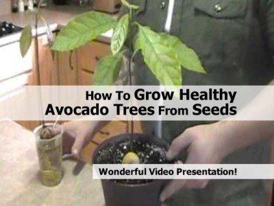 How To Grow Healthy Avocado Trees From Seeds