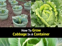 grow-cabbage-in-container