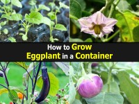 grow-eggplant-in-container
