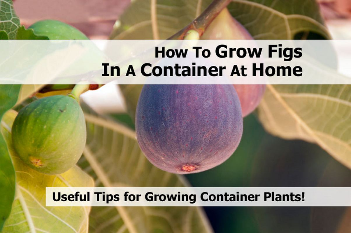 grow-figs-in-a-container