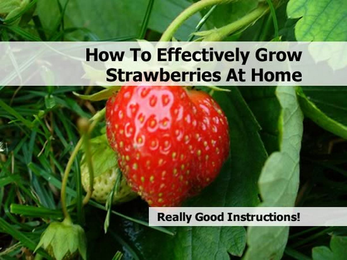 How To Effectively Grow Strawberries At Home