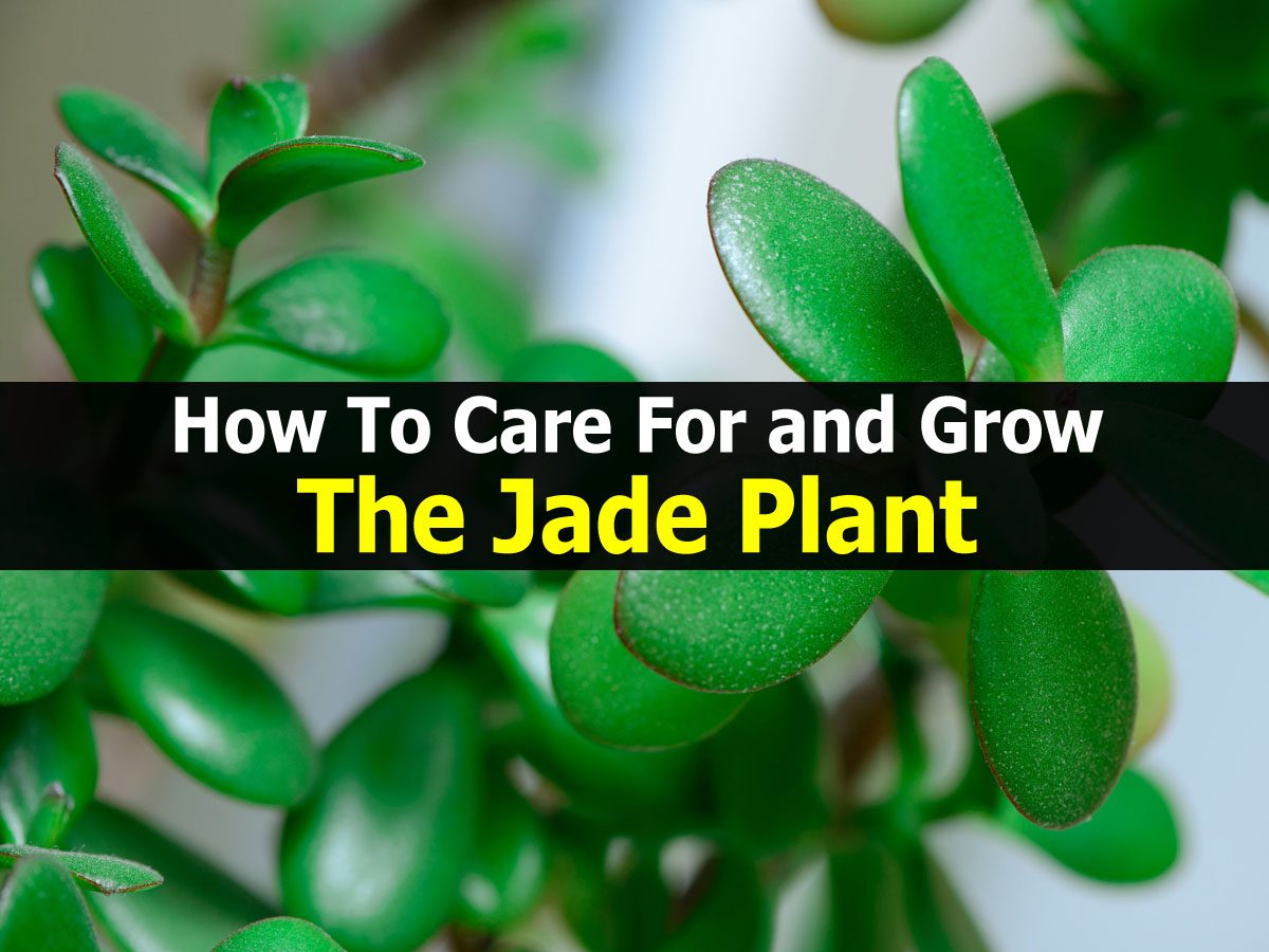 how to care for and grow the jade plant. Black Bedroom Furniture Sets. Home Design Ideas