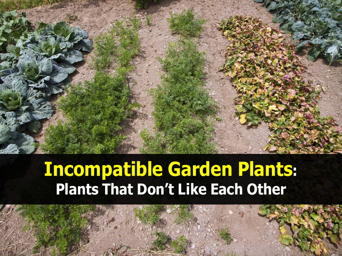 Incompatible garden plants plants that don t like each other - Like that garten ...