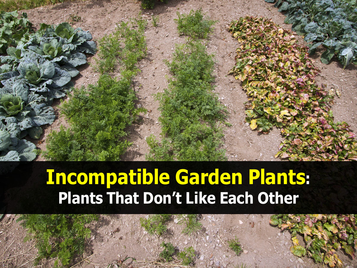 incompatible-garden-plants