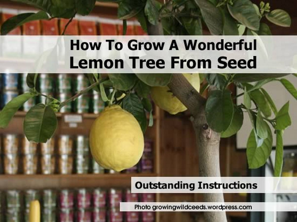 how to grow a wonderful lemon tree from seed. Black Bedroom Furniture Sets. Home Design Ideas