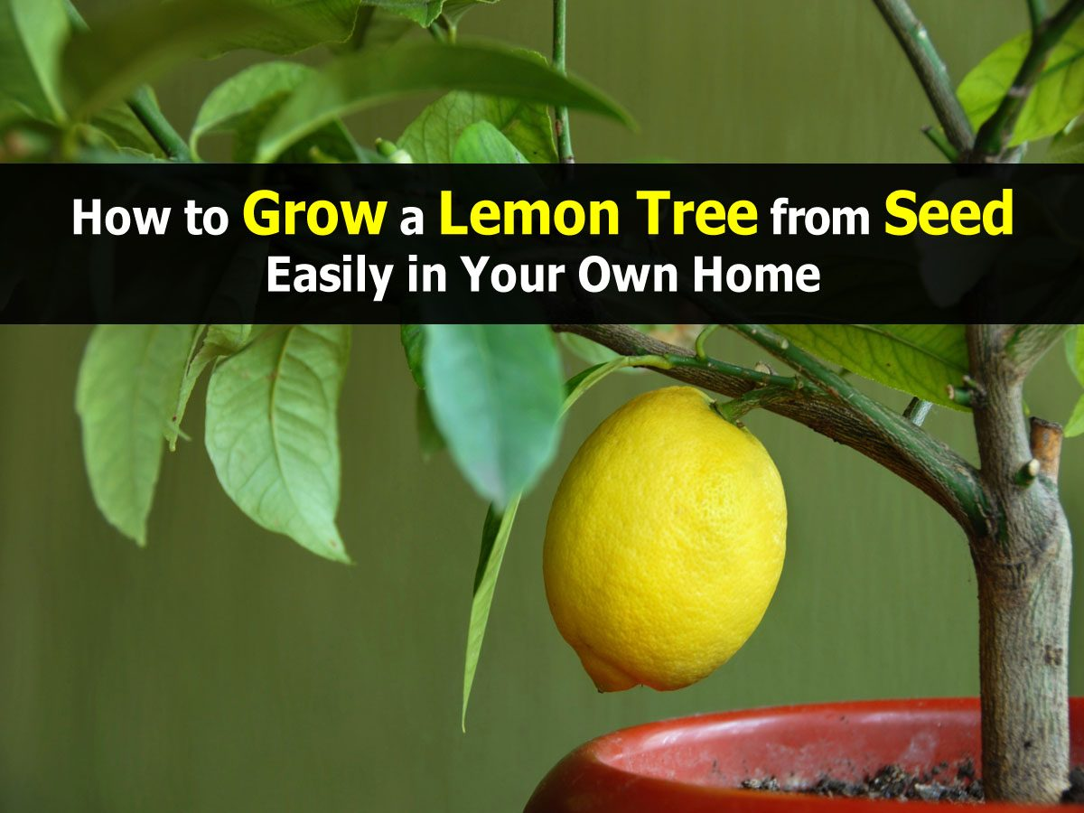 How to grow a lemon tree from seed easily in your own home for How do you plant lemon seeds