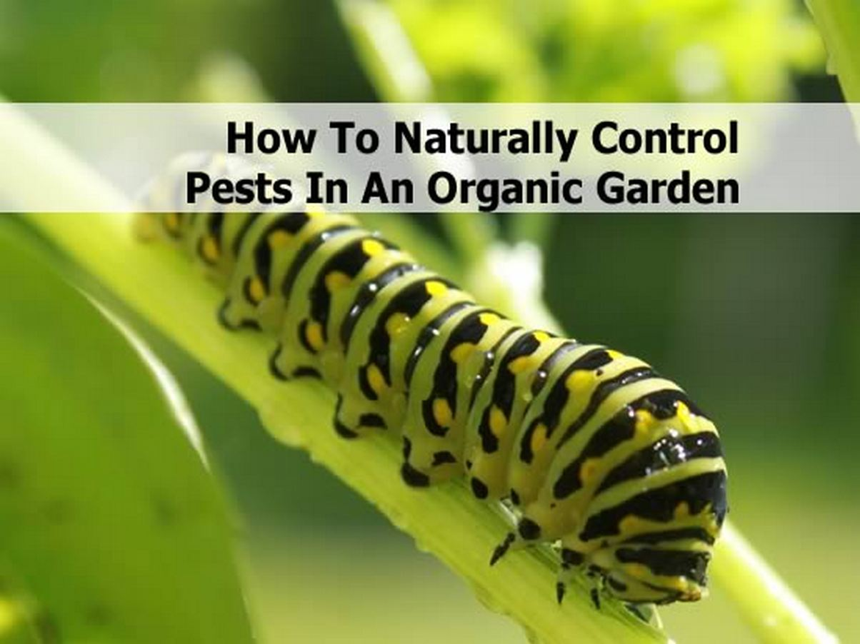 How To Naturally Control Pests In An Organic Garden