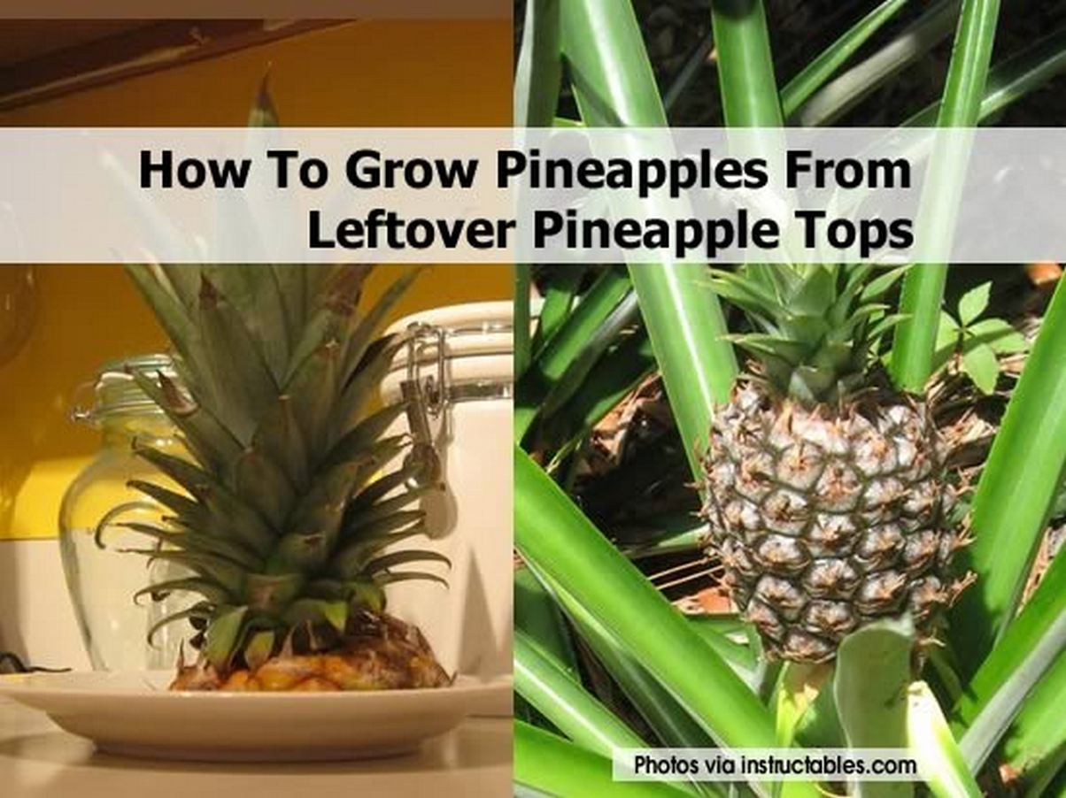 How to grow pineapples from leftover pineapple tops for Plant pineapple top