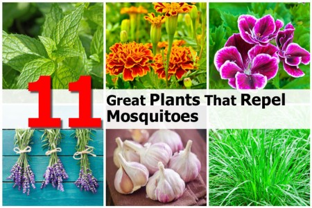 11 Great Plants That Repel Mosquitoes