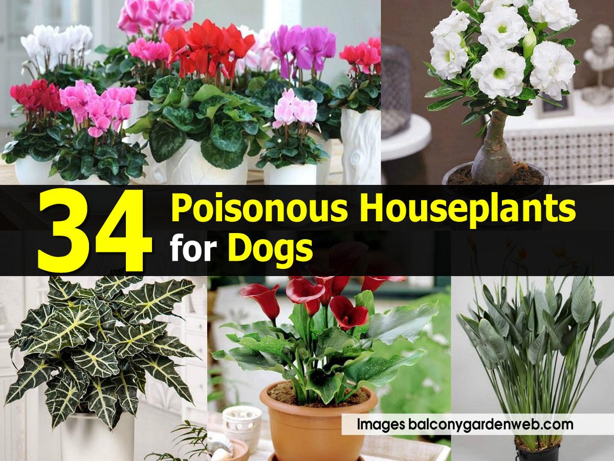 poisonous-houseplants-balconygardenweb-com
