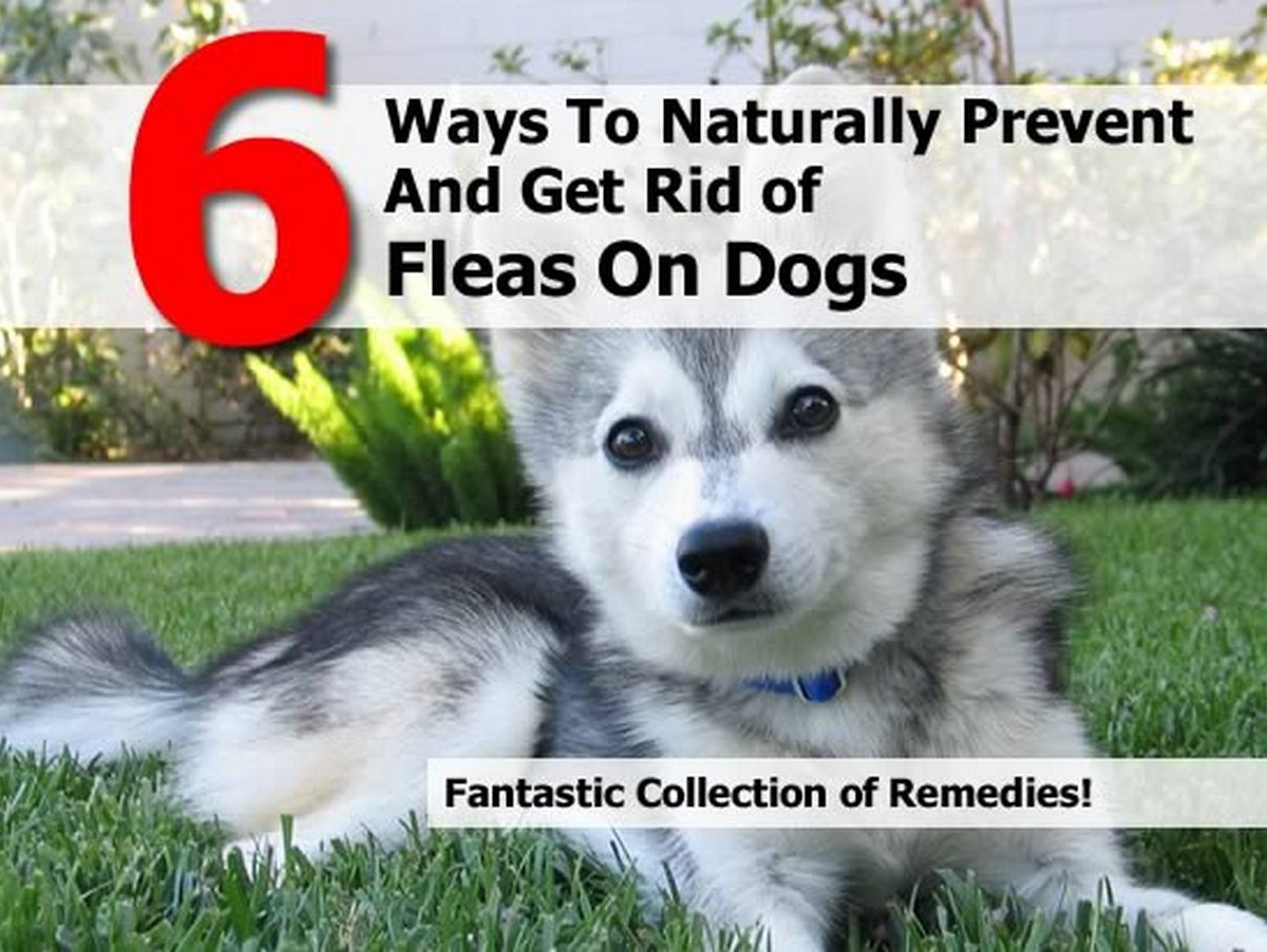 6 ways to naturally prevent and get rid of fleas on dogs. Black Bedroom Furniture Sets. Home Design Ideas