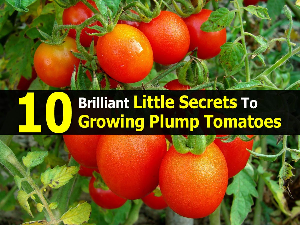 10 Brilliant Little Secrets To Growing Plump Tomatoes
