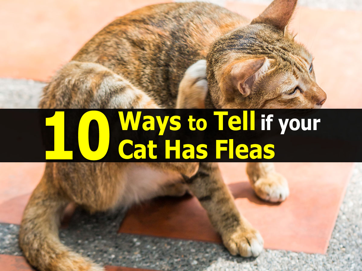 Flea Signs On Cats