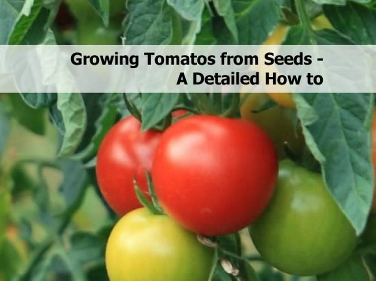 Growing Tomatos From Seeds A Detailed How To