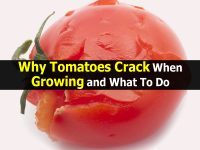 Why Tomatoes Crack When Growing and What To Do