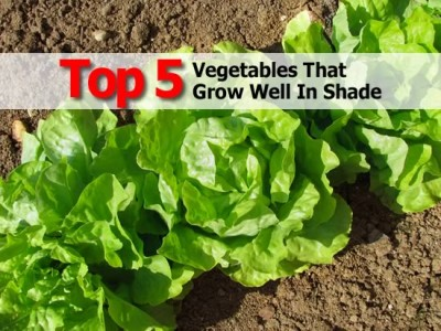 top-5-vegetables-grow-well-in-shade